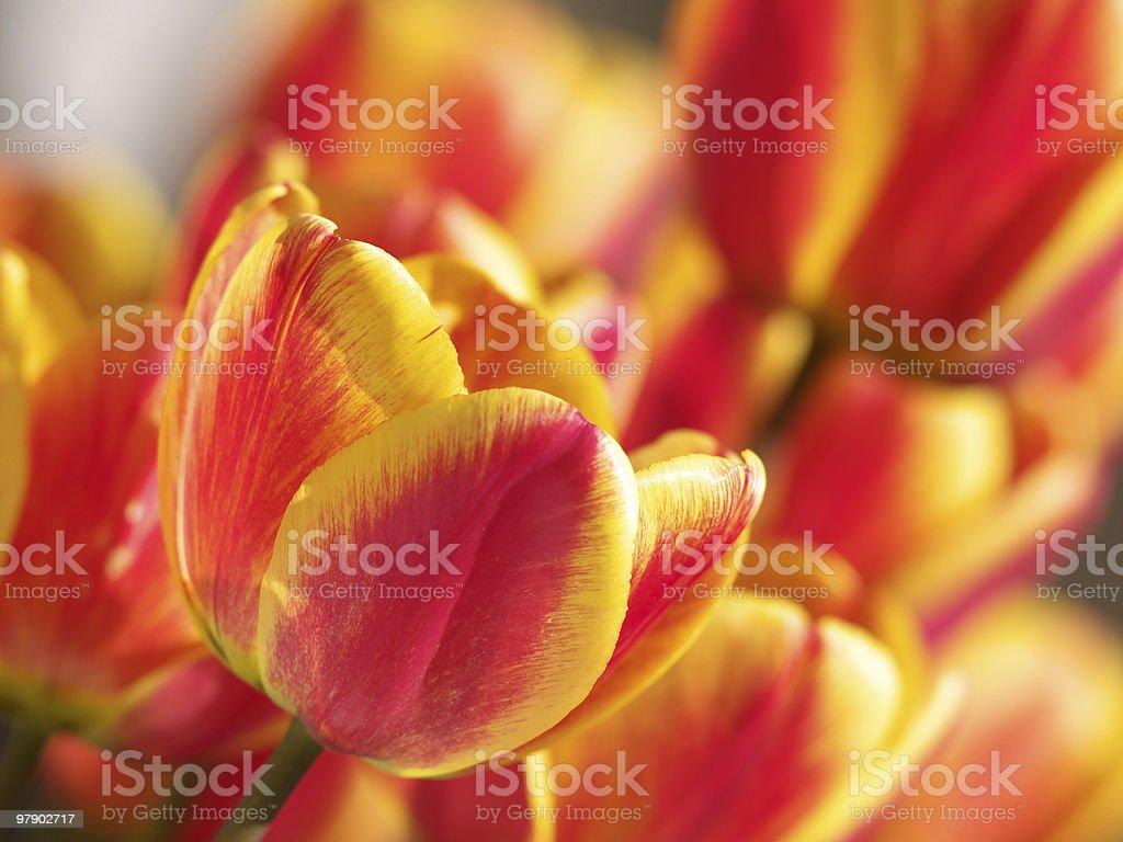 Bright tulips royalty-free stock photo