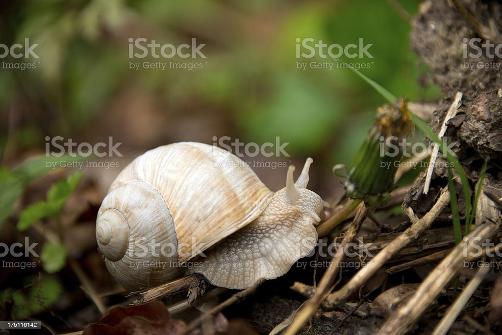 Helle Weinbergschnecke royalty-free stock photo
