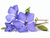 istock bright violet wild periwinkle flower 1202577114