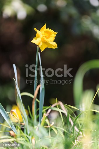 639245704 istock photo Bright vivid yellow daffodils flowers 1125818791