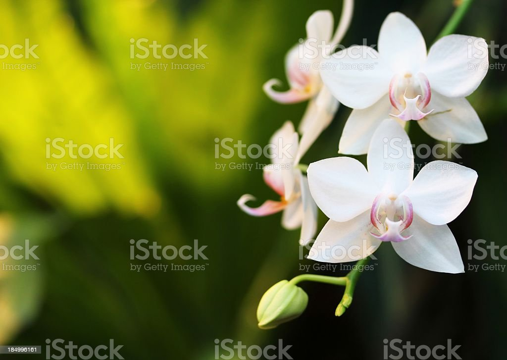 Bright white orchid blossoms and buds with lush greenery stock photo