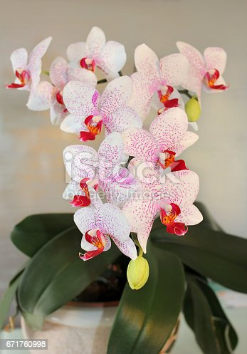 orchid, blooming bright white flowers with purple spots