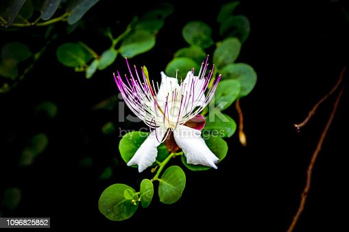istock Bright white pink Capparis spinosa flower with green leaves on black background. 1096825852