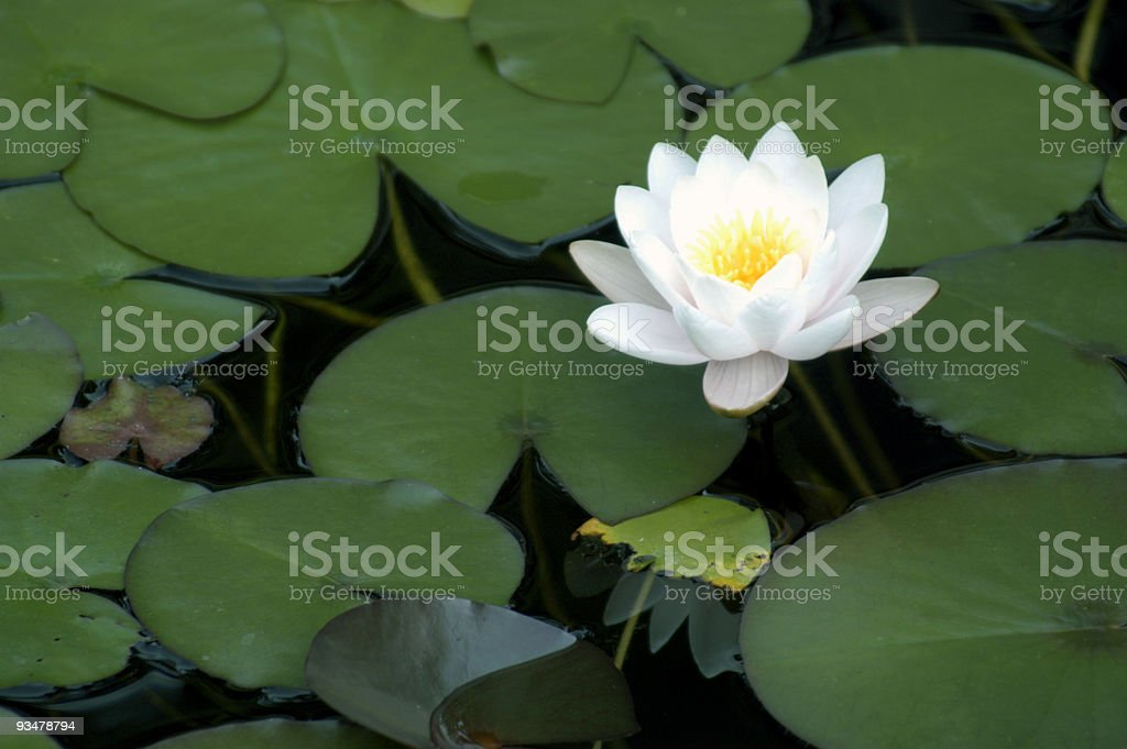 Bright White Water Lily royalty-free stock photo