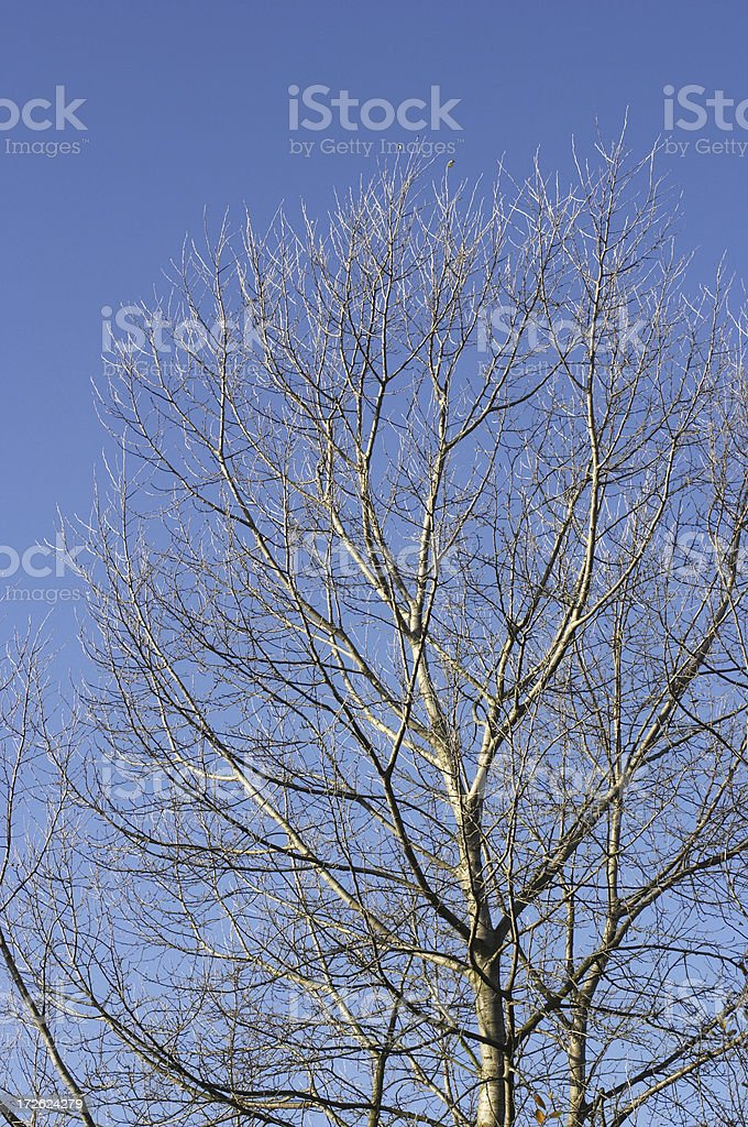 Bare branches of white poplar tree in winter royalty-free stock photo