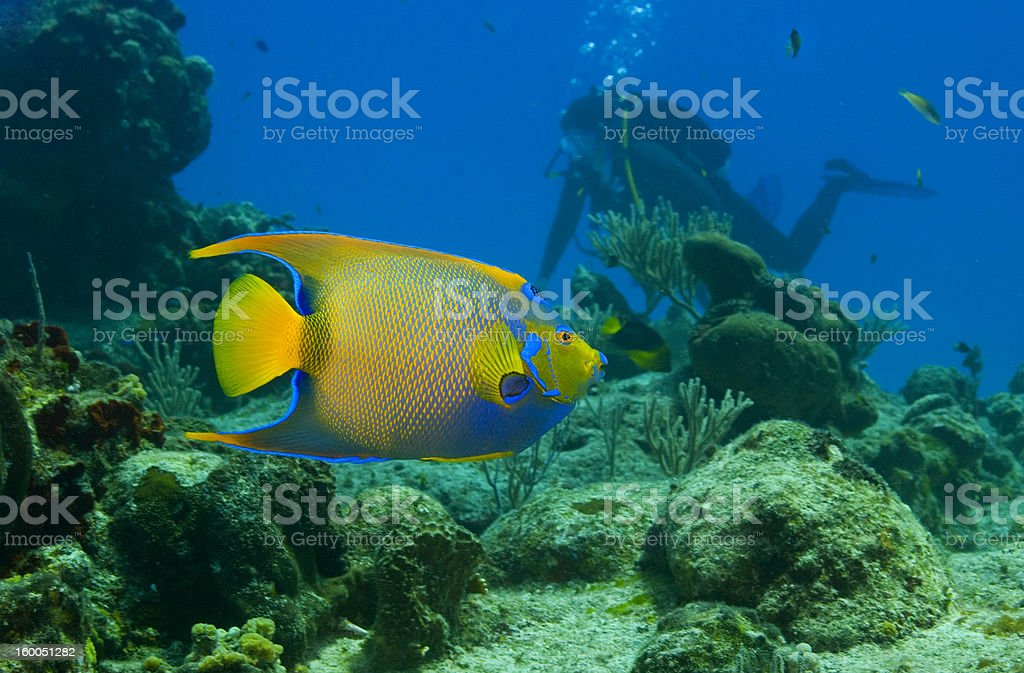 Bright yellow and blue queen angelfish underwater royalty-free stock photo