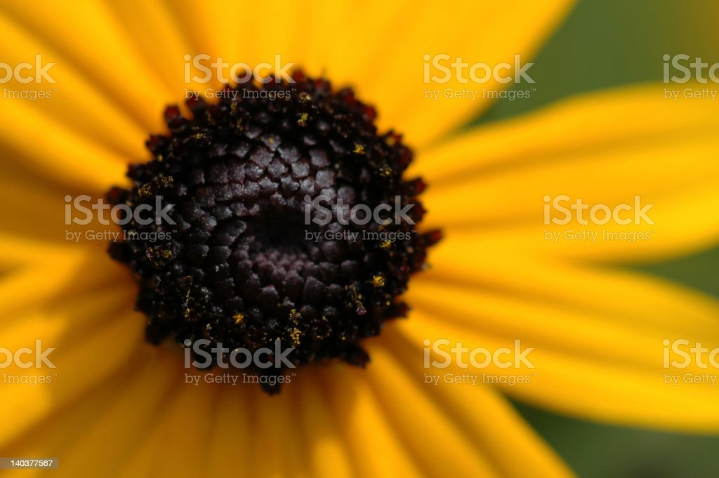 Bright yellow Black-eyed Susan flower stock photo