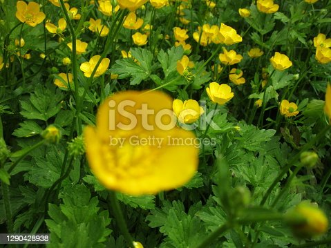Bright Springtime Yellow Buttercup Ranunculus bulbosus Flowers in Bloom 2020