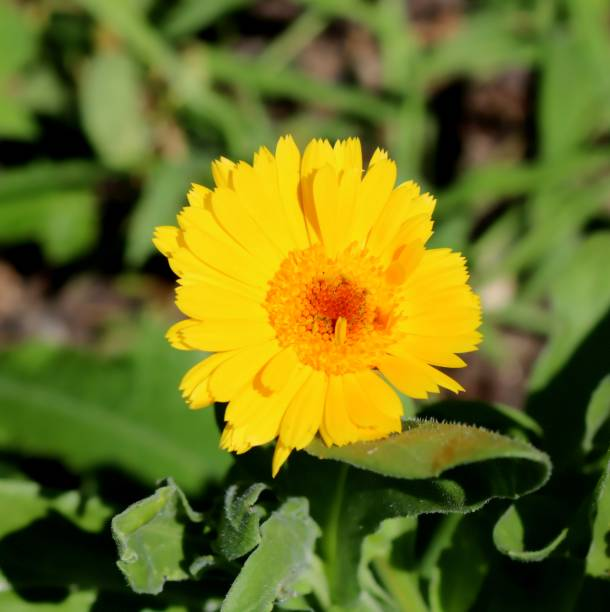 Leuchtend gelbe Ringelblume in voller Sonne, Blüte, Nahaufnahme – Foto