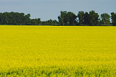 Bright Yellow Canola Field in Rural Manitoba, Canada