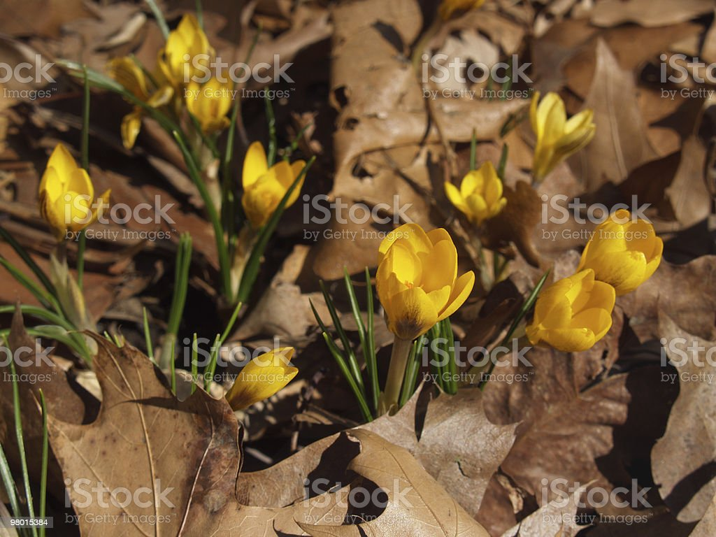 Bright Yellow Crocus vernus in Dried Leaves in Spring stock photo