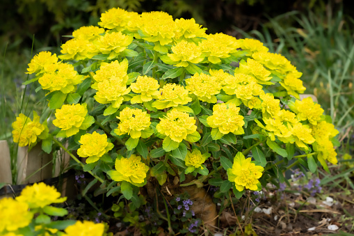 Bright yellow cushion spurge 'Euphorbia polychroma' in spring garden. Fresh yellow flowers commonly bloom in many gardens in springtime. Macro shot, selective focus