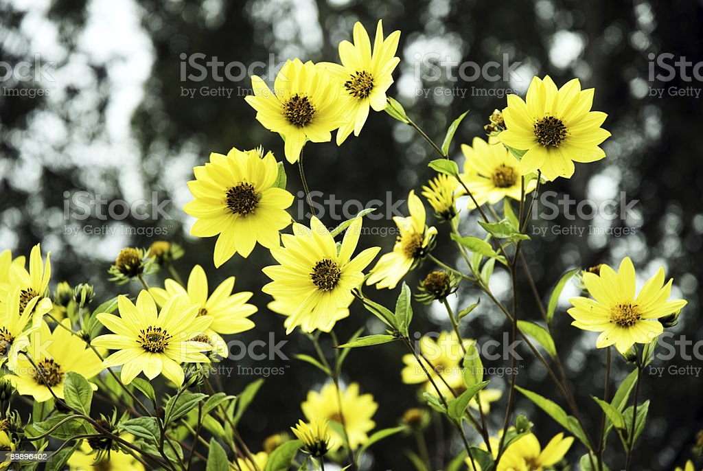 Bright Yellow Daisys royalty-free stock photo