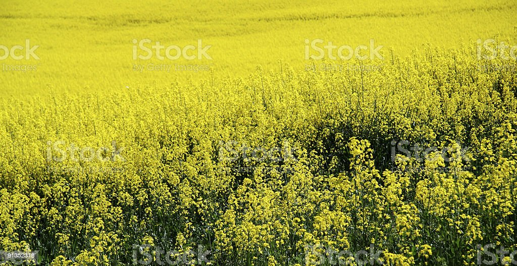 Bright yellow field of rape seed or canola crop royalty-free stock photo