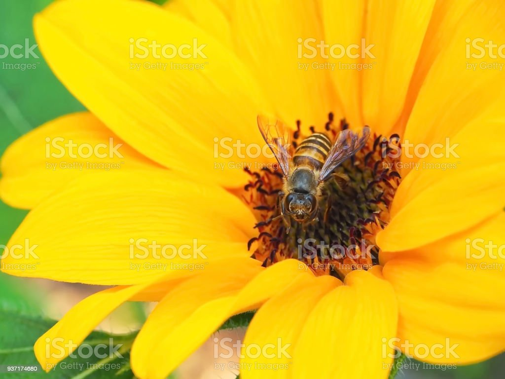 A bright yellow flower and a honey bee stock photo more pictures a bright yellow flower and a honey bee royalty free stock photo mightylinksfo