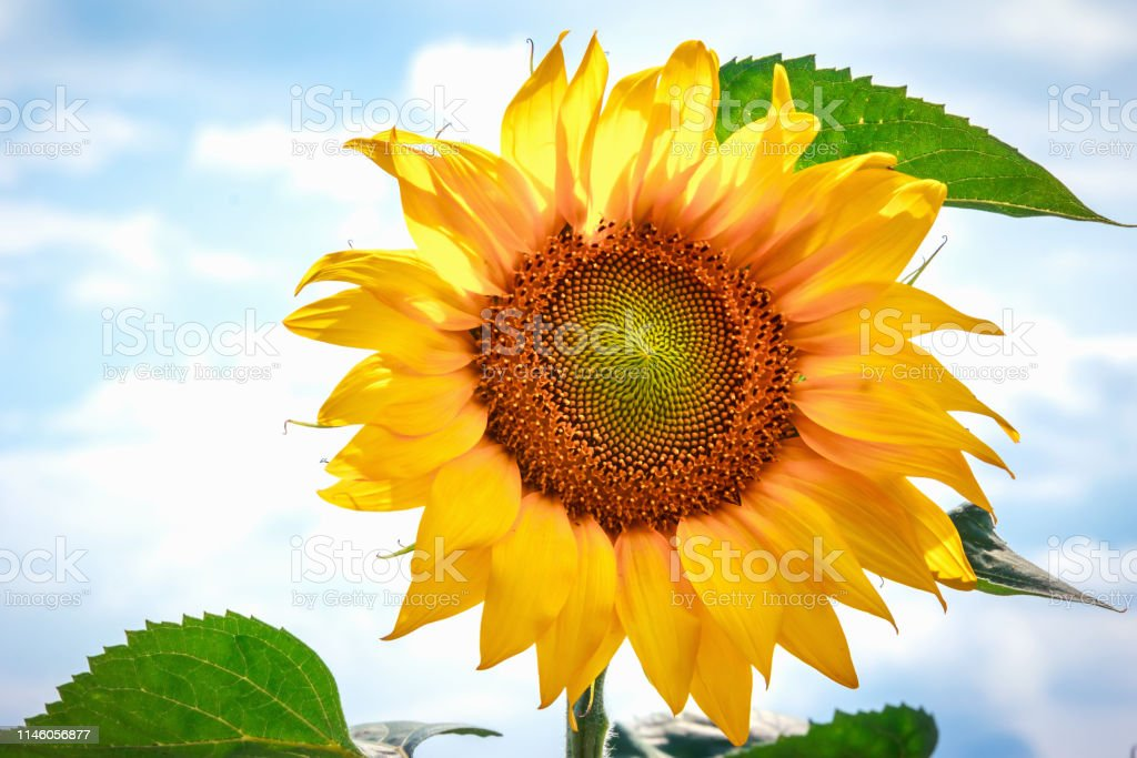 Bright yellow flower of a sunflower against the blue sky. Sunflowers...