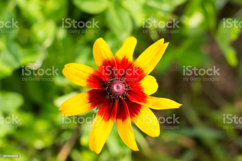 bright yellow flower with maroon red heart on a warm summer day in the garden close-up stock photo