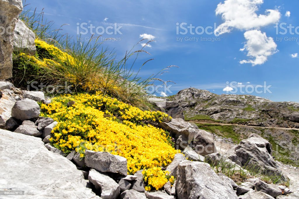 Bright yellow flowers among gray stones highly in mountains. stock photo