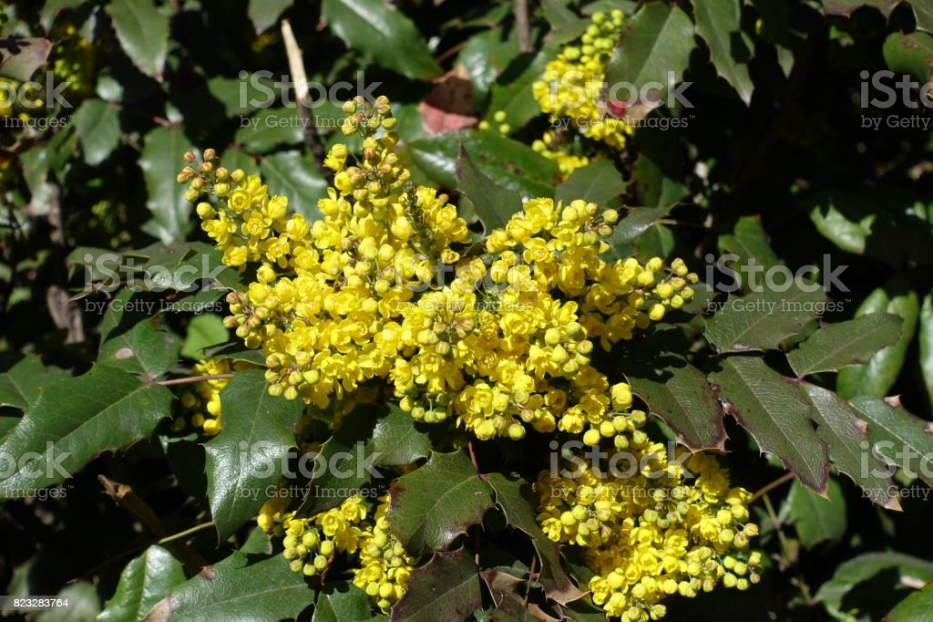 Bright yellow flowers and wide pinnate leaves of grape holly stock bright yellow flowers and wide pinnate leaves of grape holly royalty free stock photo mightylinksfo