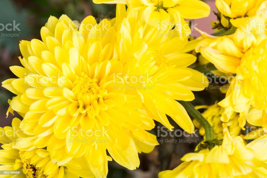 밝은 노란색 꽃 꽃다발 royalty-free 스톡 사진