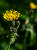 bright yellow flowers of a weed plant on a blurred natural background, macro