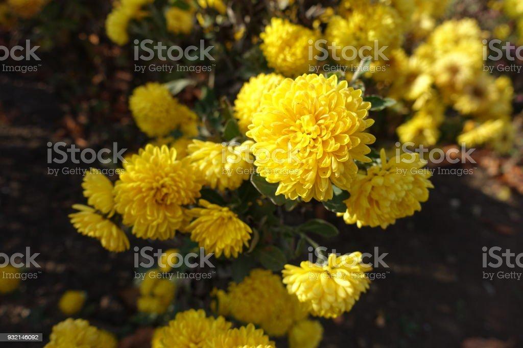 Bright yellow flowers of chrysanthemum in november stock photo bright yellow flowers of chrysanthemum in november royalty free stock photo mightylinksfo