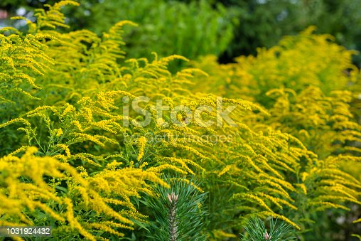 Bright yellow flowers of the solidago, commonly called goldenrods, growing on a hot summer day.