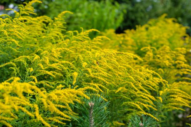 Leuchtend gelben Blüten von Solidago, gemeinhin als Goldruten, wächst an einem heißen Sommertag. – Foto