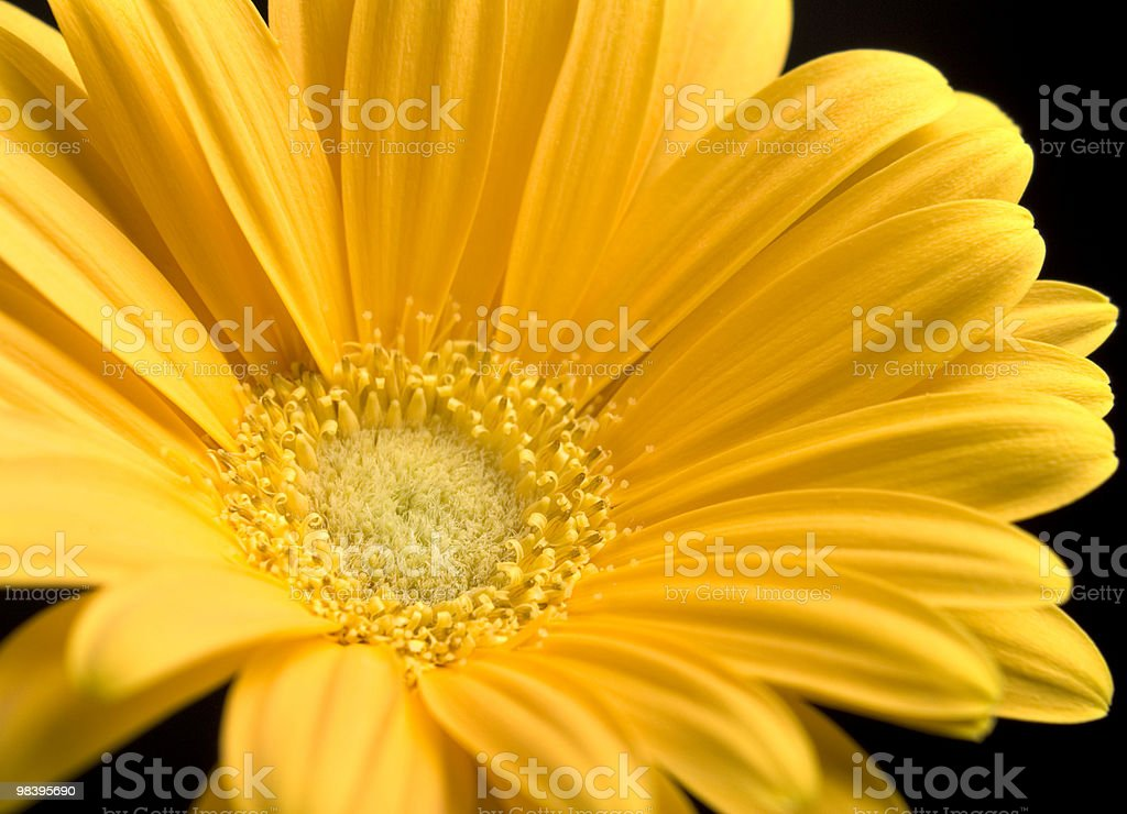 Bright Yellow Gerbera Daisy royalty-free stock photo