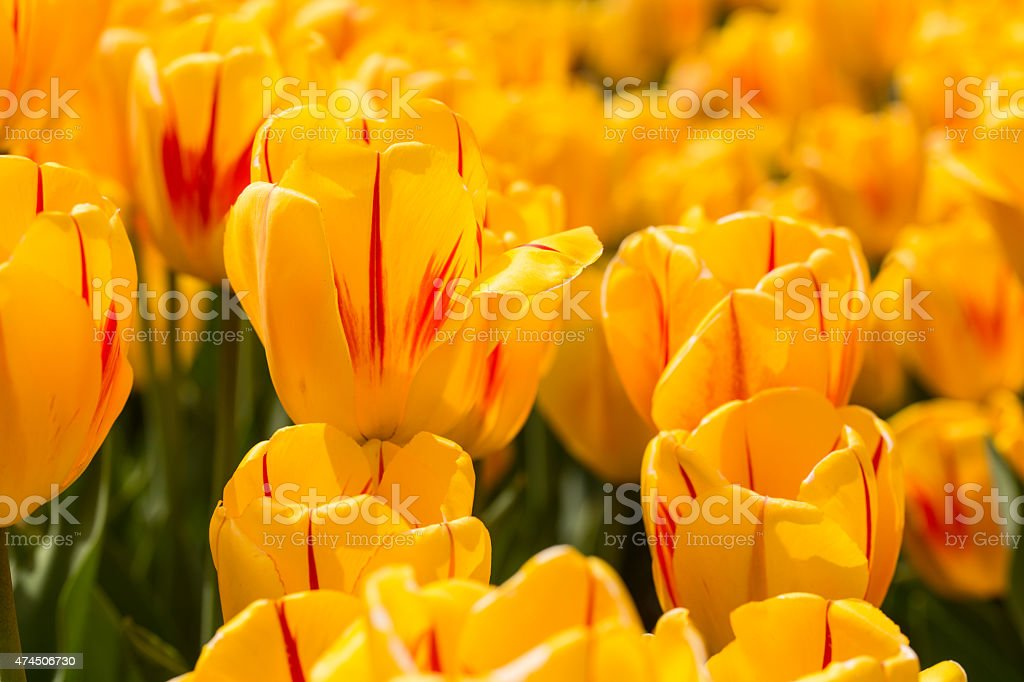 Bright Yellow Happy Tulips in Michigan in Spring stock photo