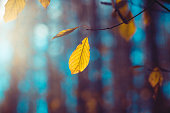 Bright yellow leaves of beech on a deep blue background. Autumn vivid natural background. Panoramic forest landscape. Tree branch with falling leaves