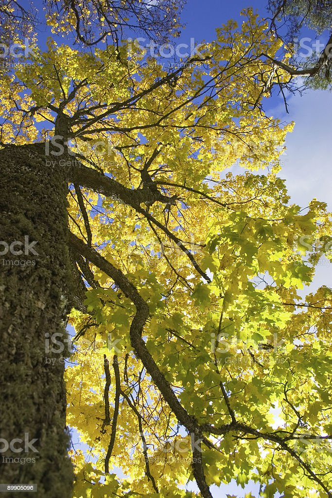 bright yellow maple leaves royalty-free stock photo