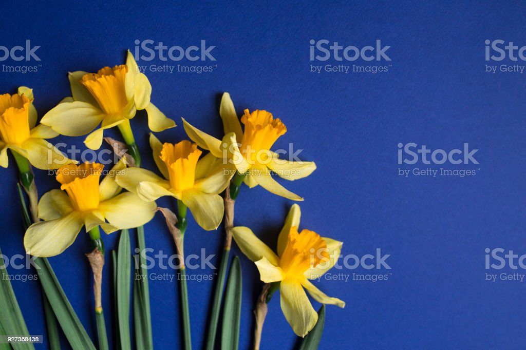 Bright yellow narcissus or daffodil flowers on blue background. Selective focus. Place for text. - Royalty-free Anniversary Stock Photo