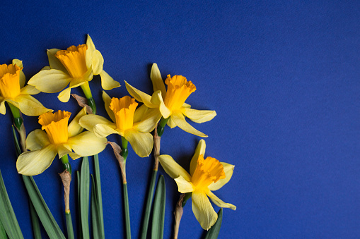 Bright Yellow Narcissus Or Daffodil Flowers On Blue Background Selective Focus Place For Text Stock Photo - Download Image Now