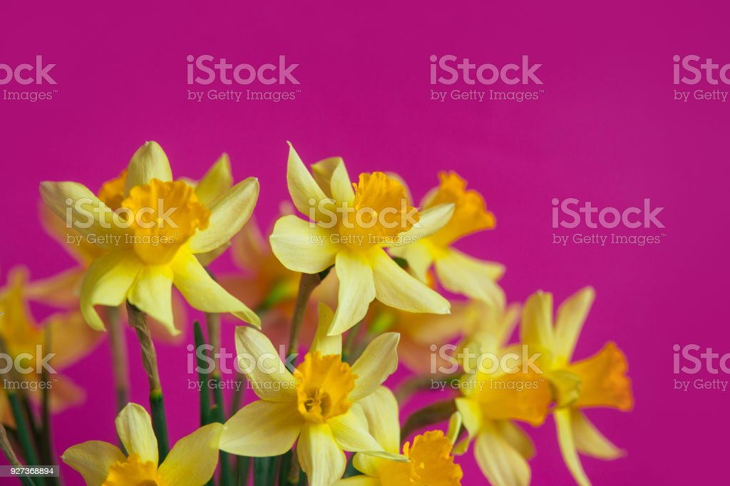 Bright yellow narcissus or daffodil flowers on pink background. Place for text. Bright yellow narcissus or daffodil flowers on pink background. Selective focus. Place for text. Anniversary Stock Photo
