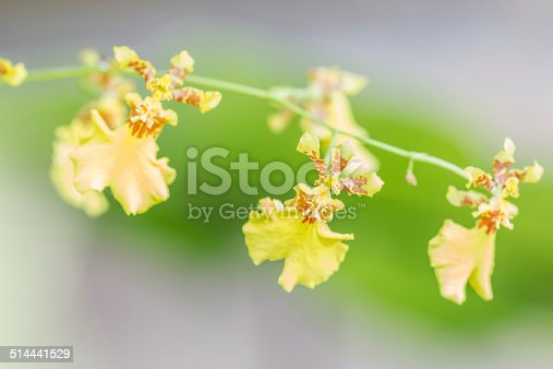 Bright Yellow Oncidium Orchid plant