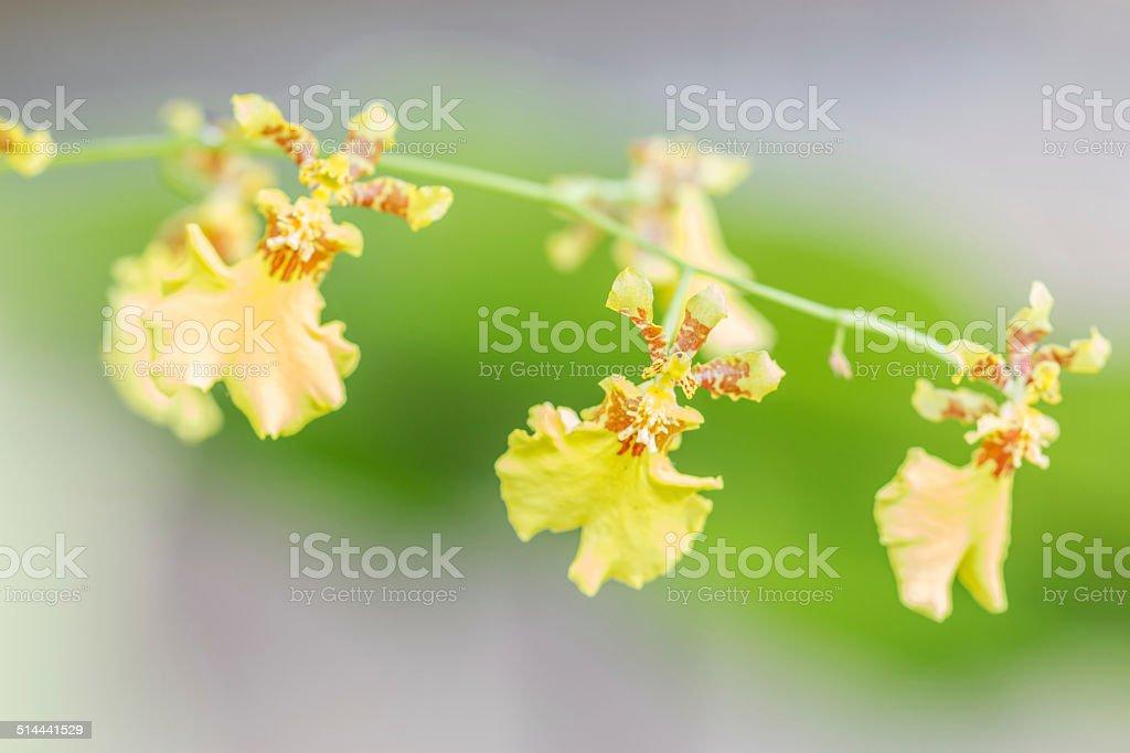 Bright Yellow Oncidium Orchid plant stock photo