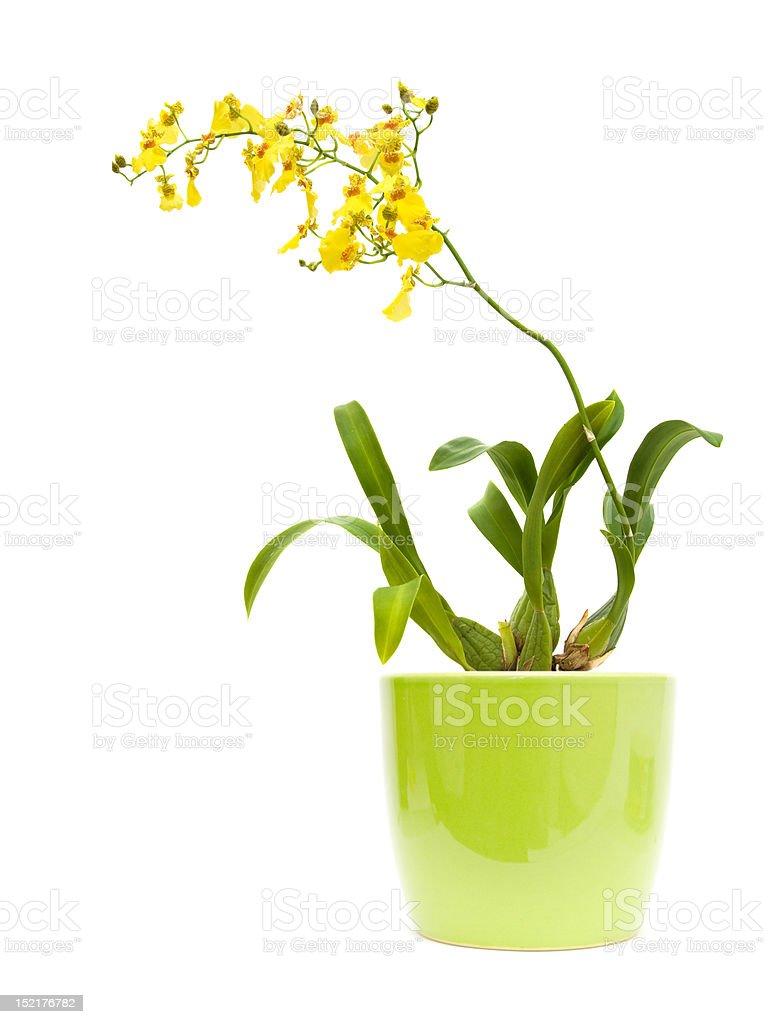 bright yellow Oncidium stock photo