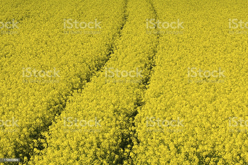 bright yellow rape field royalty-free stock photo