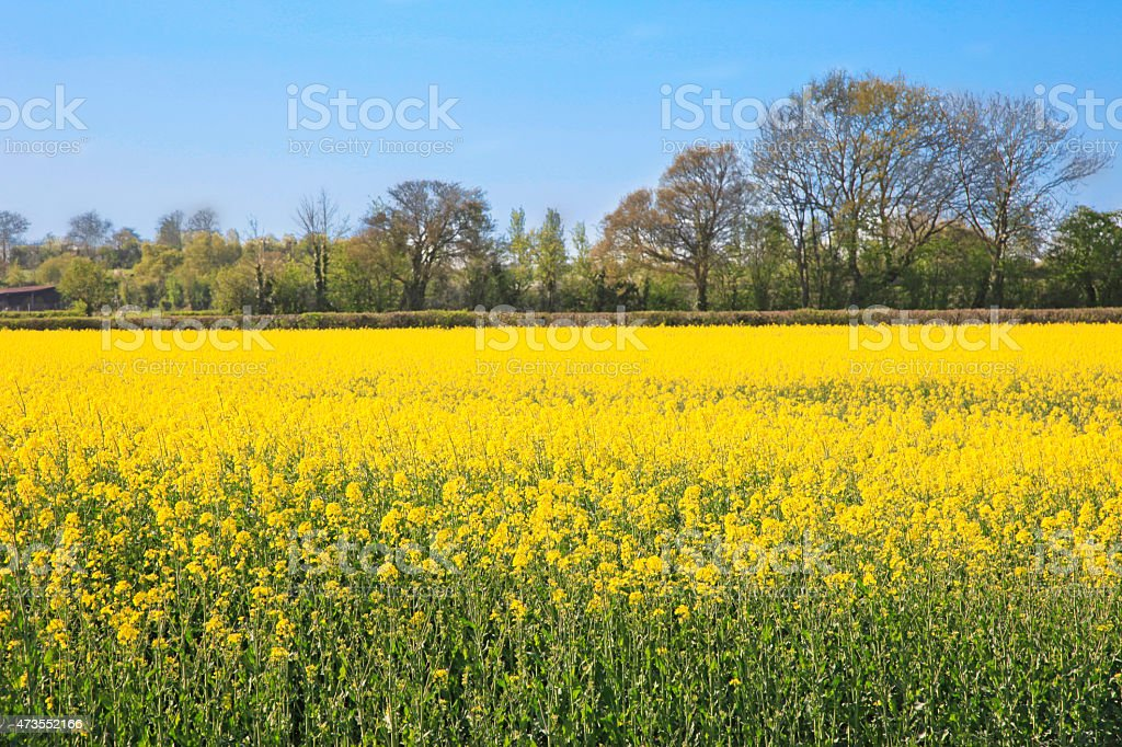 Bright yellow rapeseed field stock photo