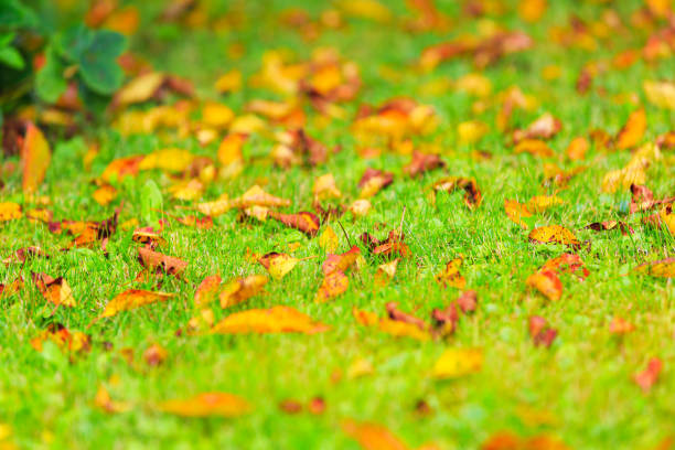 Bright yellow red fallen autumn leaves on the green grass stock photo