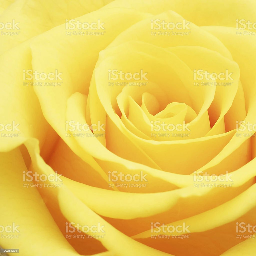 Bright yellow rose with many petals up close stock photo