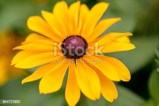 Bright yellow rudbeckia or red eyed Susan flower