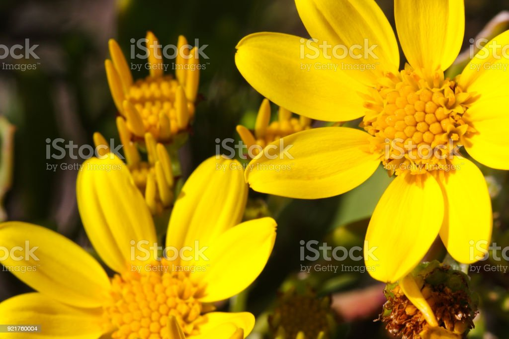 Sea Ragwort (senecio maritimus) in bloom, close-up stock photo