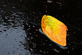 Bright yellow sheet on the asphalt in a pool of water. Golden autumn beautiful leaf in raindrops.