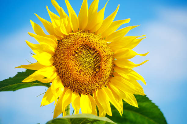 Bright yellow sunflower against a blue sky with clouds, beautiful summer Wallpaper stock photo