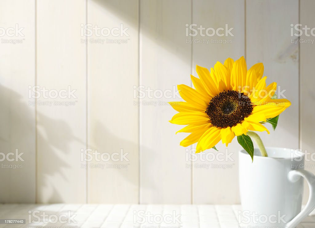 Bright yellow sunflower against white background royalty-free stock photo