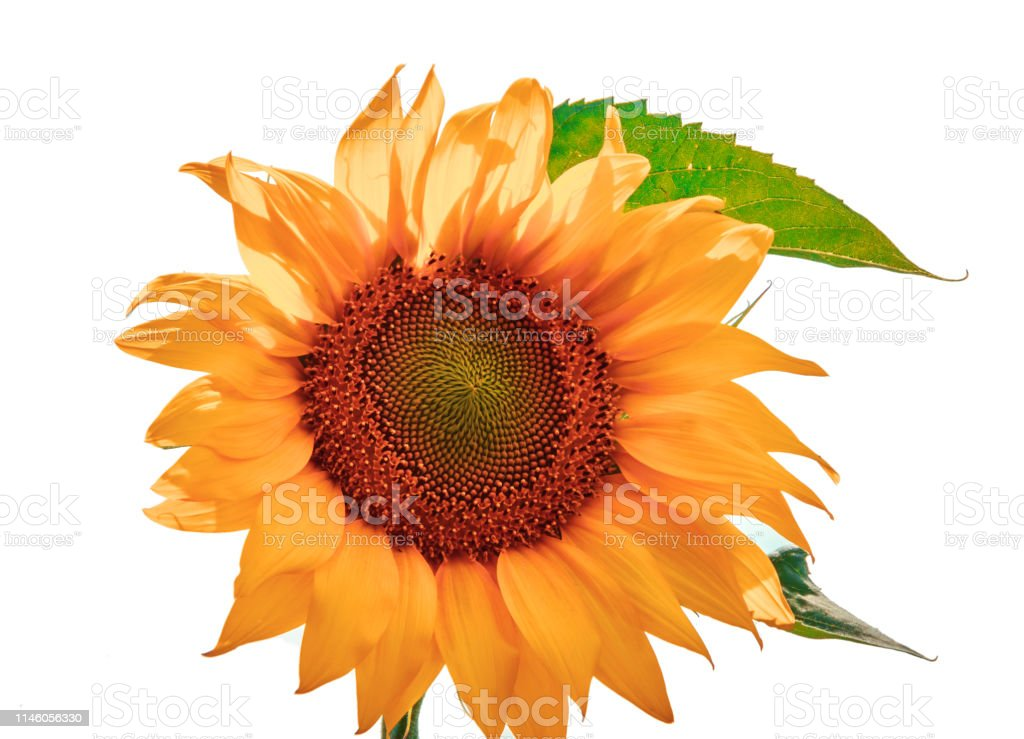 Bright yellow sunflower flower isolated on white background....