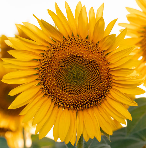 Bright yellow sunflower in the field against the sky. Beautiful sunflower close-up