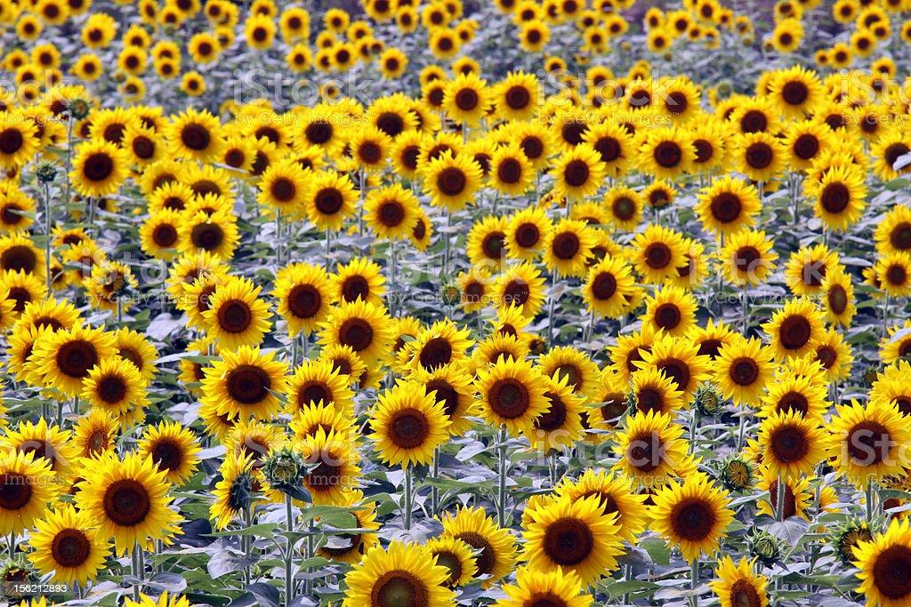 Bright yellow sunflowers in full bloom stock photo